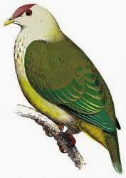 Tilopo de la Makatea, Ptilinopus chalcurus