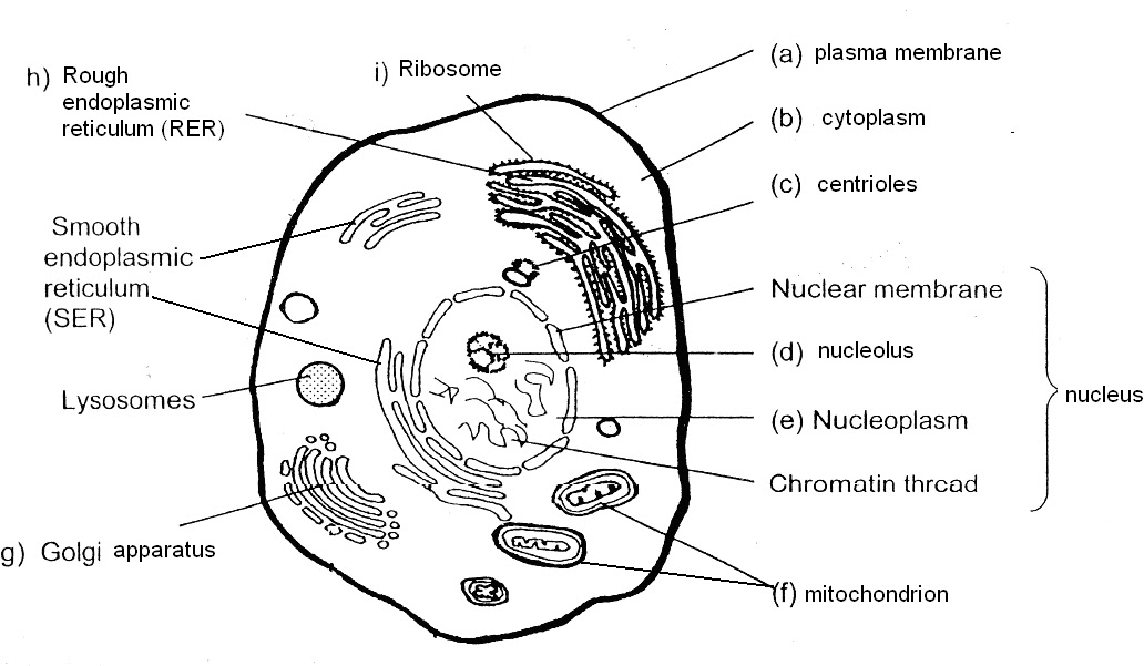 Human Cell Coloring Page. animal cell color page worksheet and ...