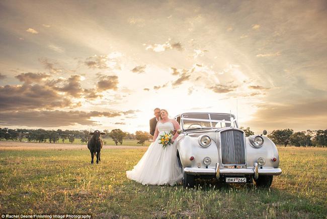 Touro invade fotos de casamento