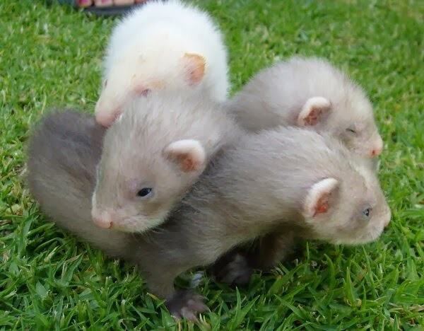Funny animals of the week - 17 January 2014 (40 pics), three cute baby ferrets