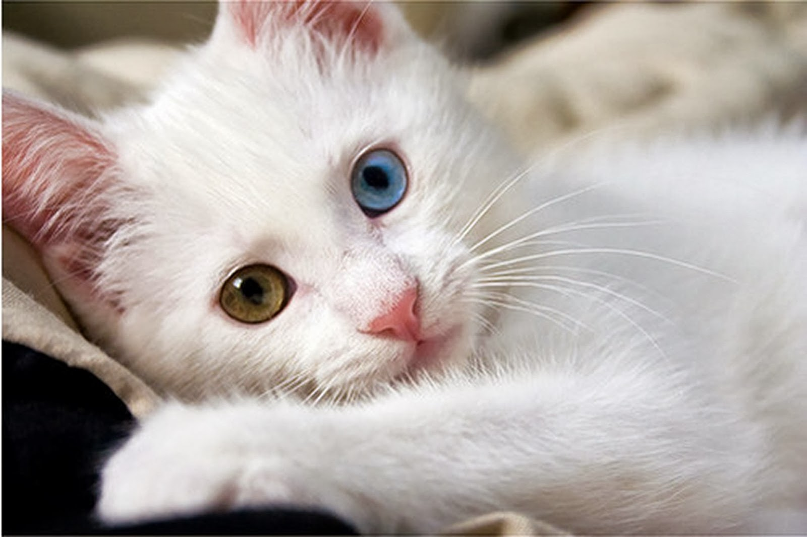 White Cat Wallpaper  beautiful desktop wallpapers 2014