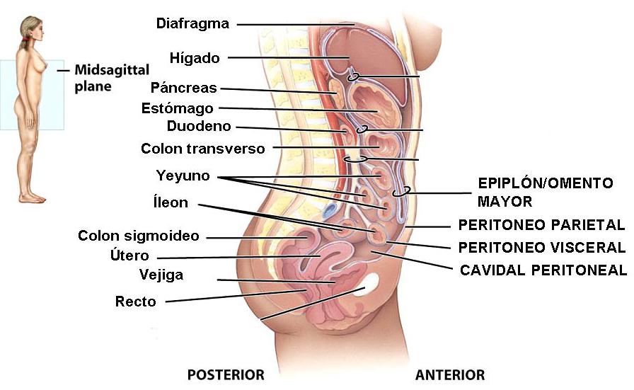 Anatomía para Cosmetología: UBICACIÓN DEL APARATO DIGESTIVO. QUE ES ...