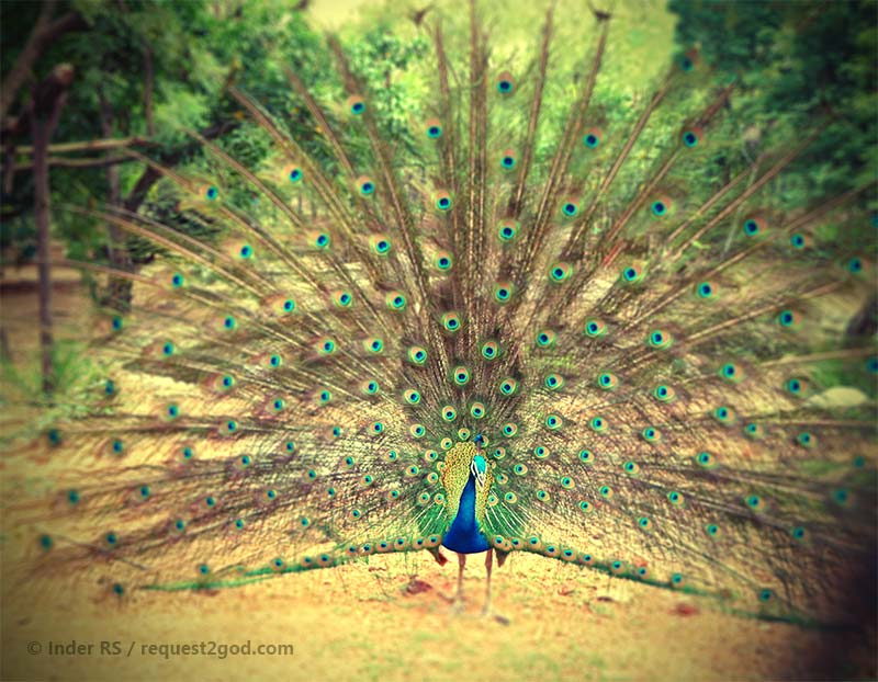 Birds, Dancing Peacock