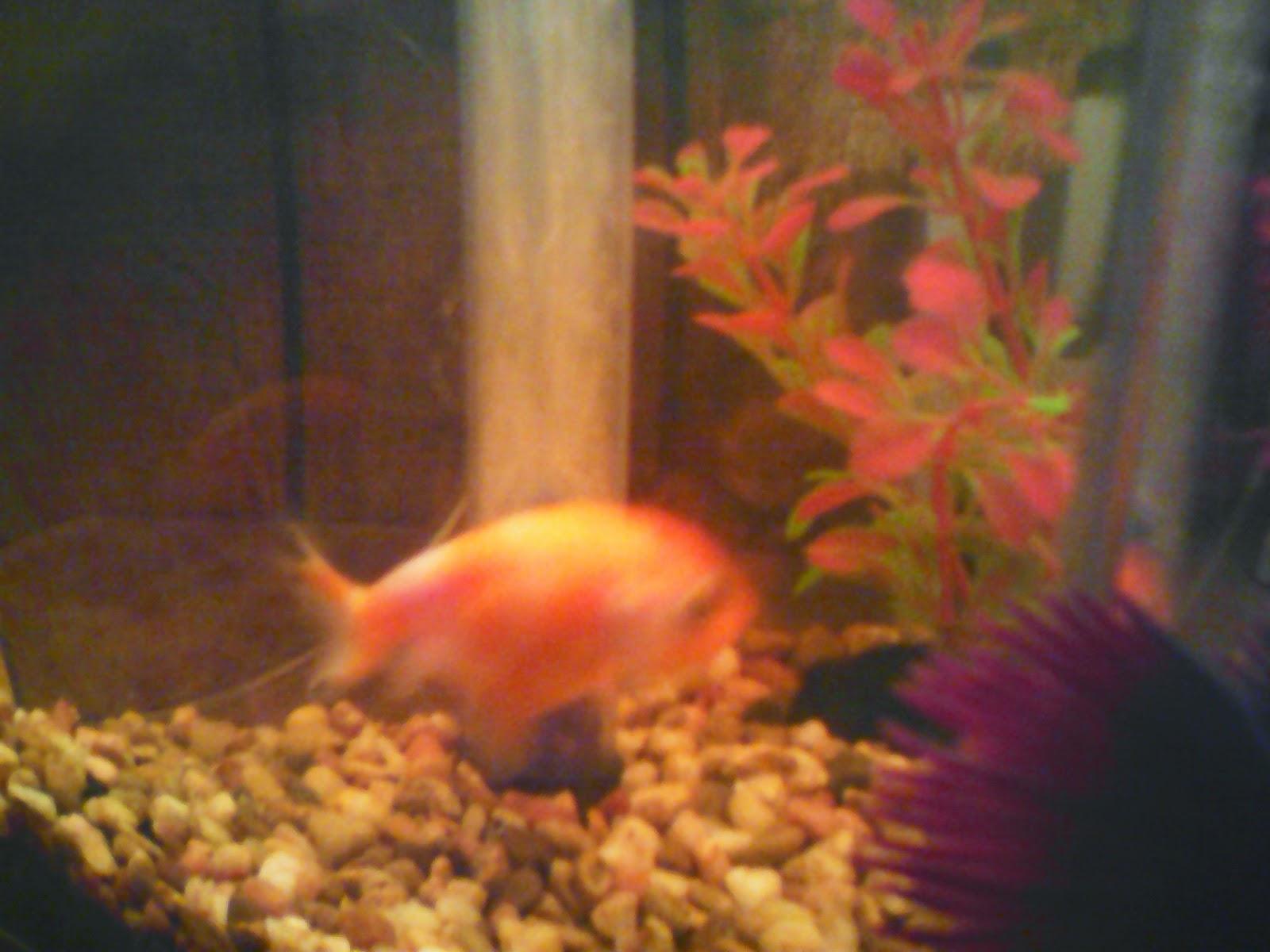 Hunsolo the fish
