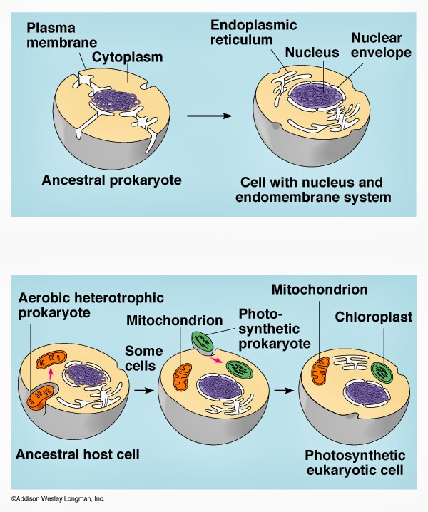 evidence for endosymbiotic theory Endosymbiotic theory the hypothesized theory of endosymbiosis deals with the origin of eukaryotic organelles such as the mitochondria in animals and the choloroplasts in plants according to this theory, certain organelles were originally free-living bacteria that were taken inside another cell as endosymbionts.