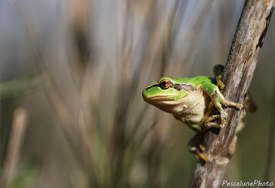 Rainette méridionale (Hyla meridionalis), Mediterranean Tree frog