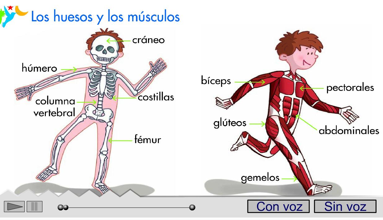 Dorable El Aprendizaje De Los Músculos Del Cuerpo Humano Viñeta ...