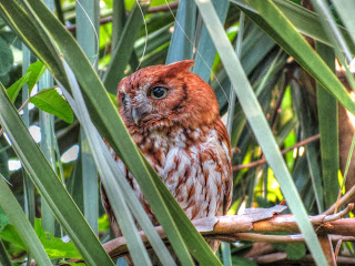 Female Eastern Screech Owl Red Morph