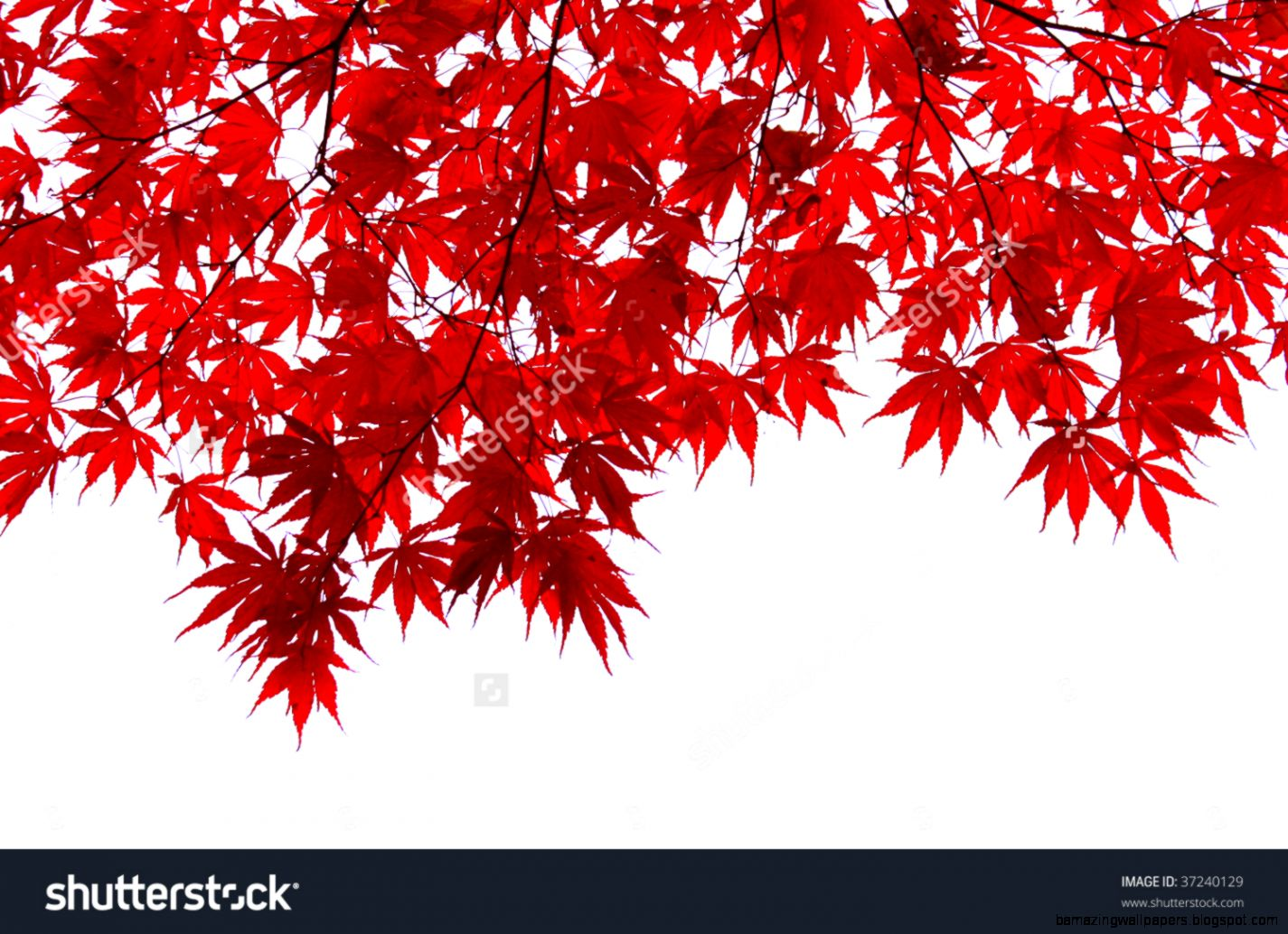 Red Japanese Maple Leaves Stock Photo 37240129  Shutterstock