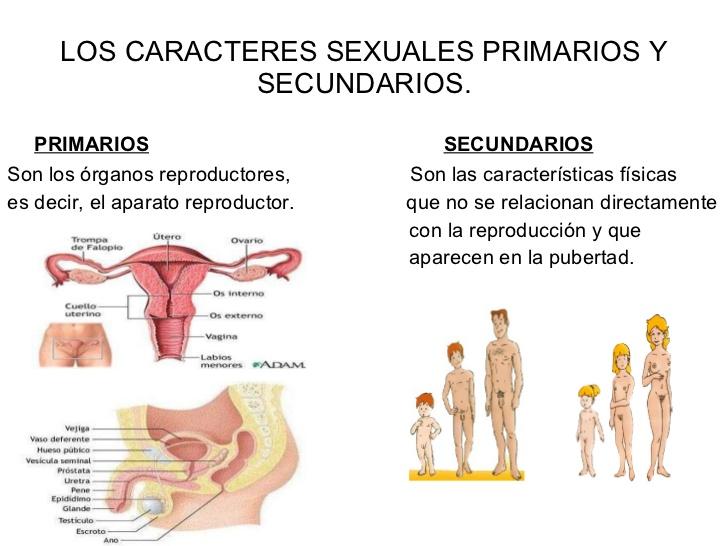 Caracteres sexuale primarios y secundarios femeninos y masculinos