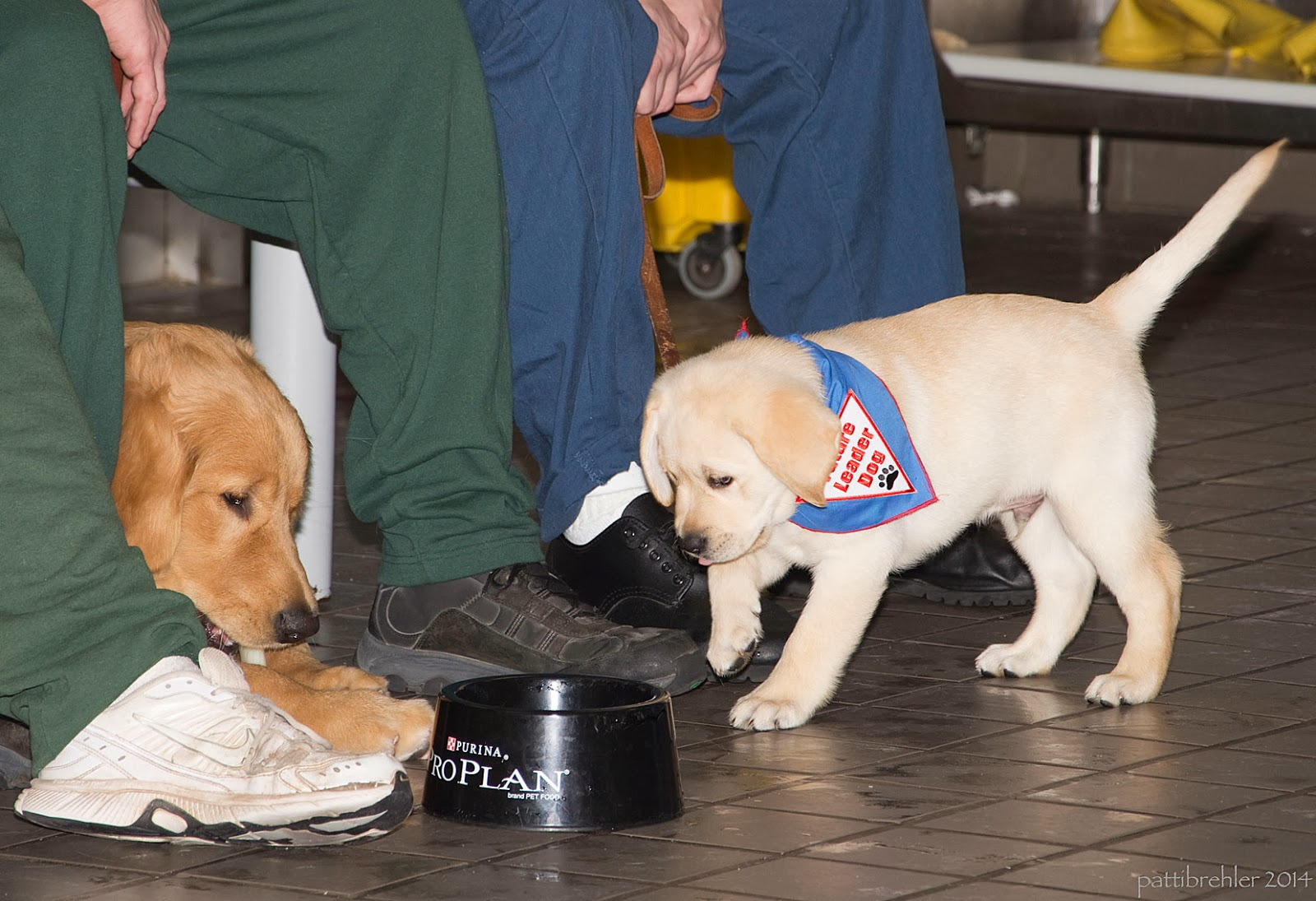 At the floor-level shot of a small yellow lab walking from right to left toward a black water bowl that says Purina Pro Plan on it. A golden retriver's head is just peaking out from between the legs of an inmate wearting green pants and white tennis shoes. Another inmate is sitting behind the yellow pup wearing blue pants and blac shoes.