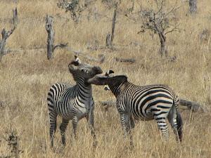 Nibbling Zebras