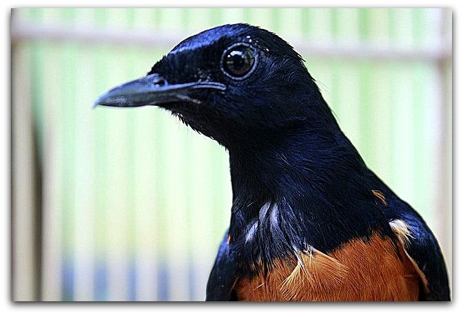 jual burung murai batu medan super asli 100%