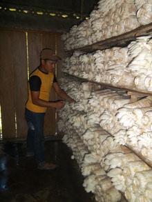 usaha jamur tiram