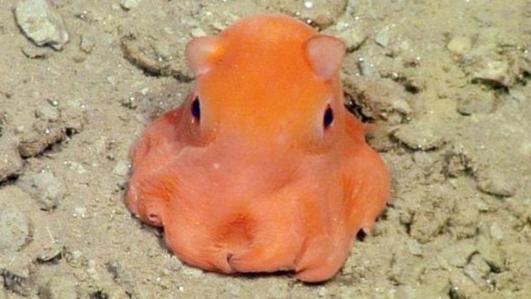 gurita spesies baru