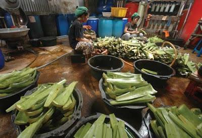 ALOEVERA : Para perempuan pekerja di I Sun Vera, Siantan sedang membersihkan tanaman lidah buaya sebelum diolah menjadi aneka produk makanan dan minuman. FOTO MUDJADI/PONTIANAKPOST