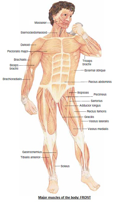 The Human Body Major Muscles Of The Trunk