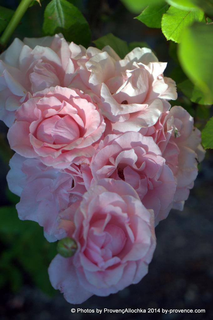 Rose  Queen Elizabeth,mon jardin