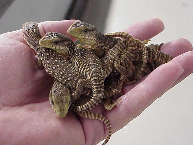 full grown crocodile skink