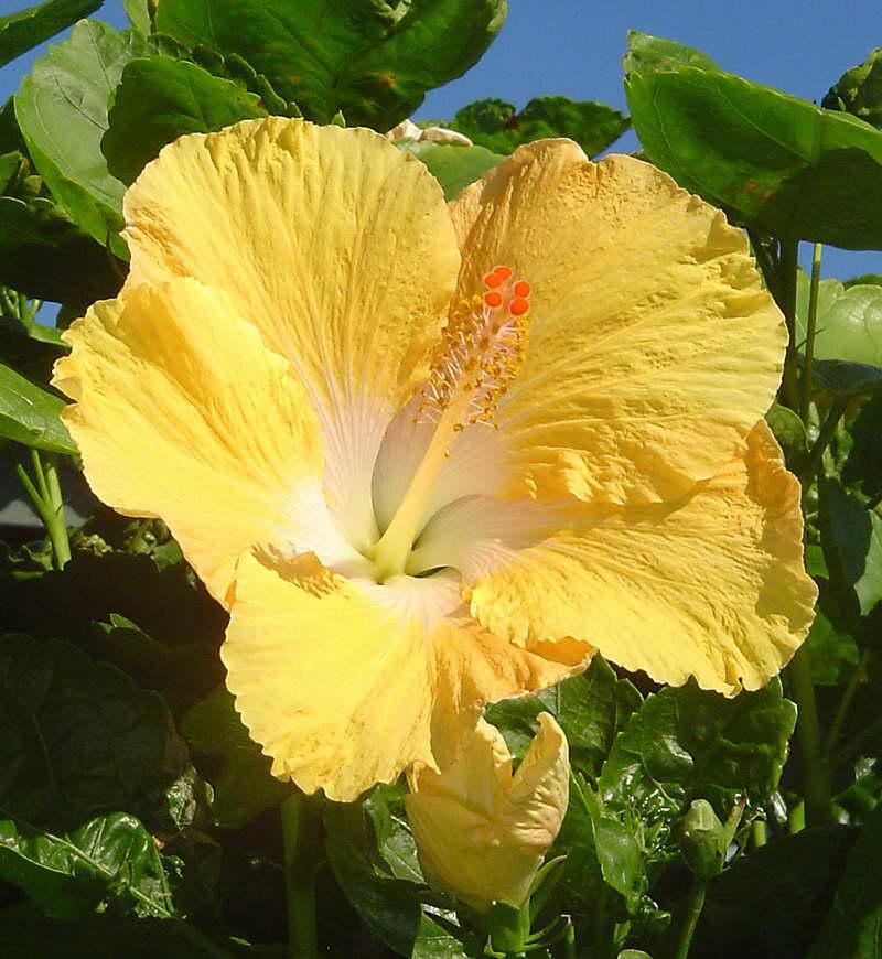 yellow hibiscus plant - photo #17