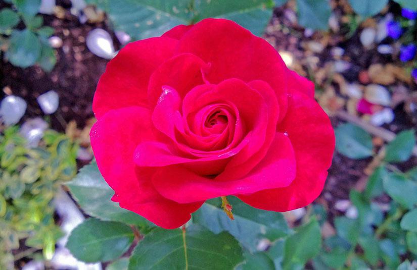 agnetas rosentr dg rd mm blommor rosors olika. Black Bedroom Furniture Sets. Home Design Ideas
