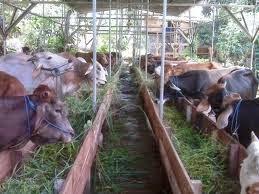 Produk-nasa-viterna-plus-penggemukan-sapi-pakan-hijauan-konsentrat-stokist-online-nasa