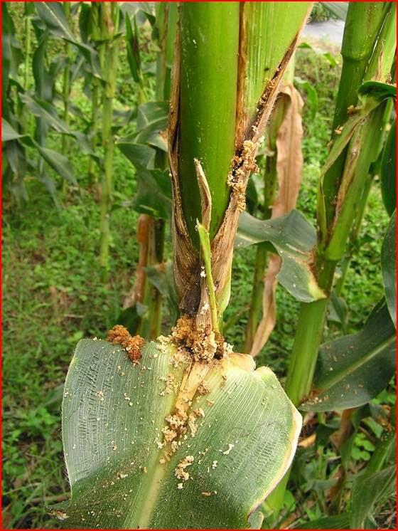 busuk batang gejala penyakit busuk batang jagung dapat menyebabkan ...