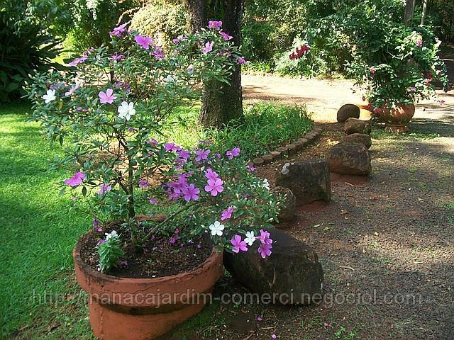 manaca de jardim em vaso : manaca de jardim em vaso:Vaso com Manacá da Serra