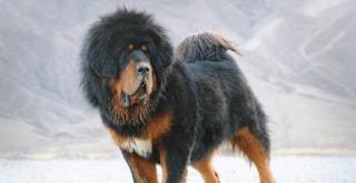 Tibetan mastiff price 6000 to 1 5 million funtuna