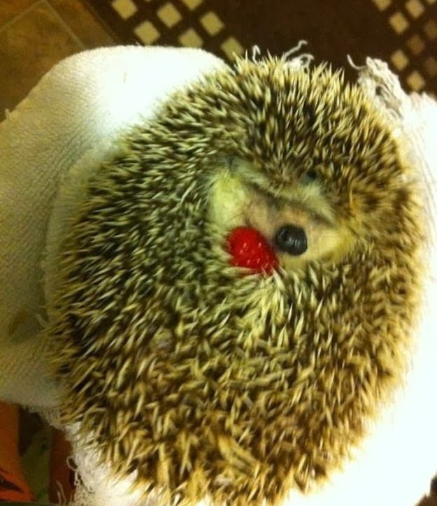Funny animals of the week - 21 February 2014 (40 pics), hedgehog curling up while holding strawberry