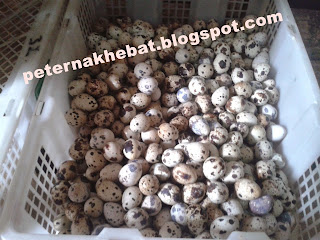 Livestock Business Opportunities Quail Eggs