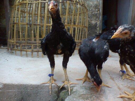 Budidaya ayam serama