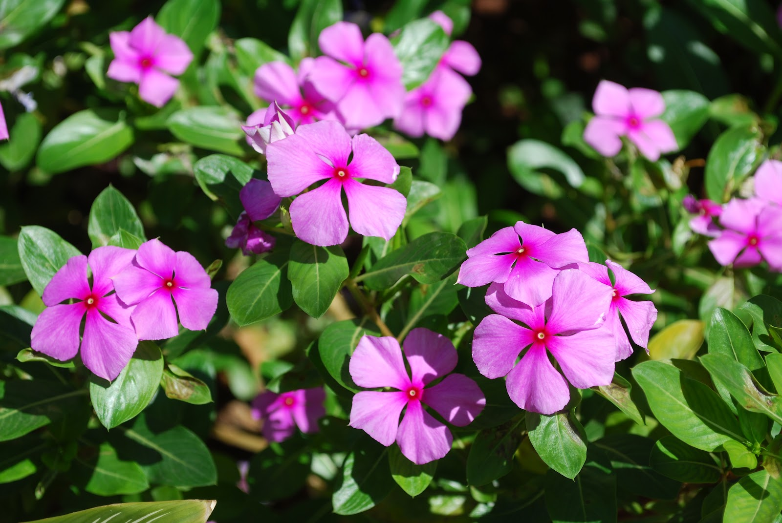 TōnFerns A Nostalgic Journey Tony Fernandes Periwinkle Flowers in Goa