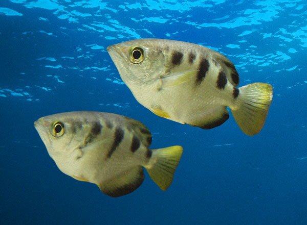 Fishes images archerfish for California freshwater fish