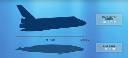 Interesting facts you didn't know: Facts about blue whales