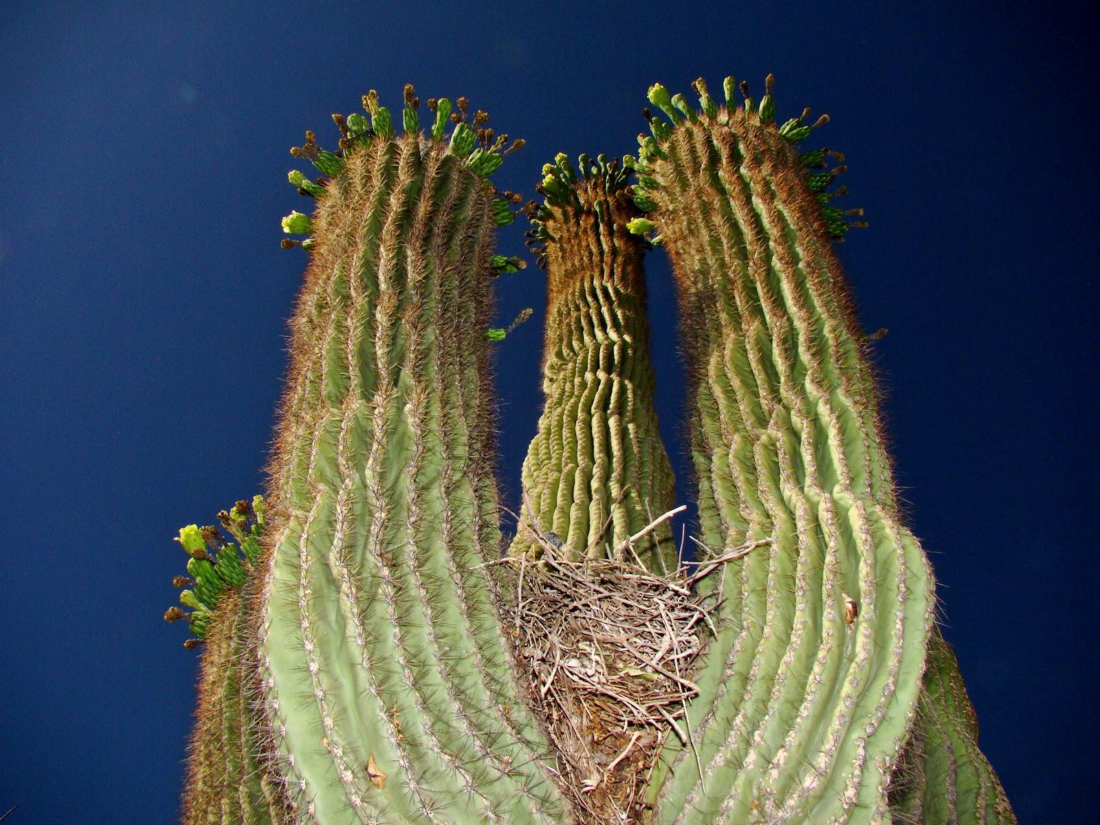 Scottsdale Daily Photo Saguaro With Bird Nest