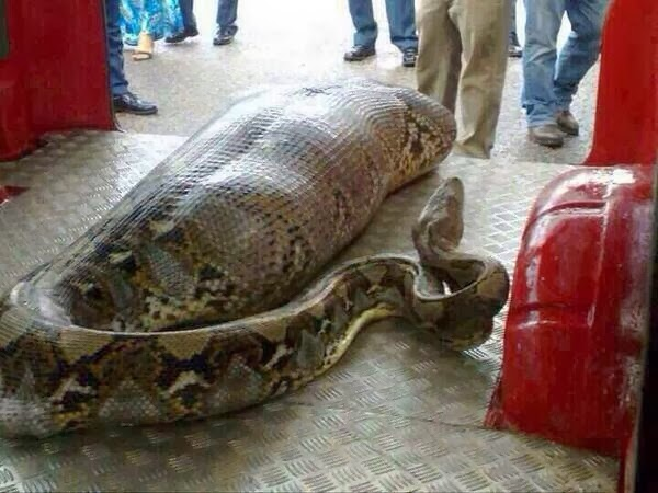 Python Snake Swallowed Drunk Guy.