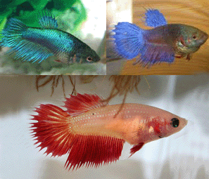 Betta female crown tail - blue green red