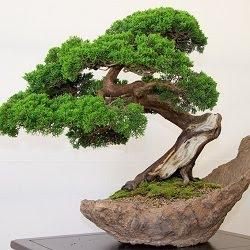 Todo jardines bonsai de roble colorado for Bonsai de jardin