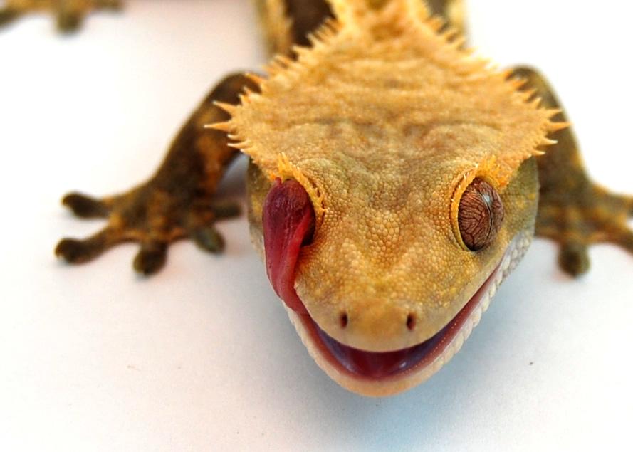 Eyelash Crested GeckoEyelash Crested Gecko