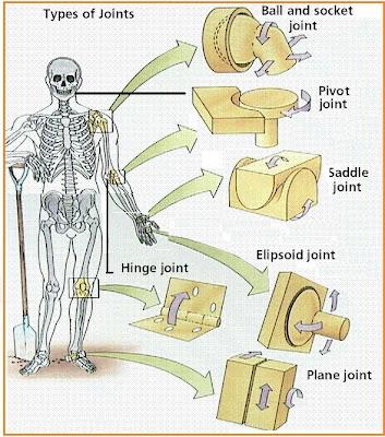HEALTH ANALYS: Sistem Rangka dan Otot Manusia
