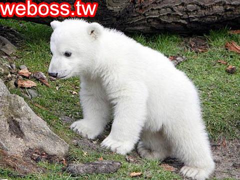 北極熊克努特 4歲5