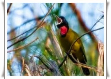 Cara merawat burung samyong agar berkicau