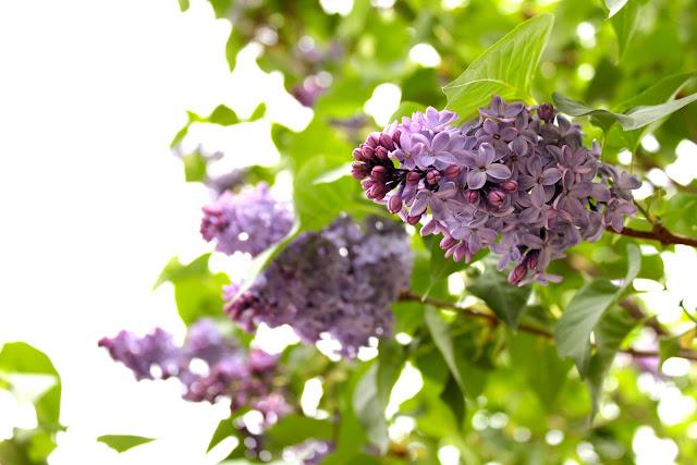 Lilacs, Central Park Conservatory Garden