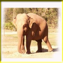 gajah_asia_7