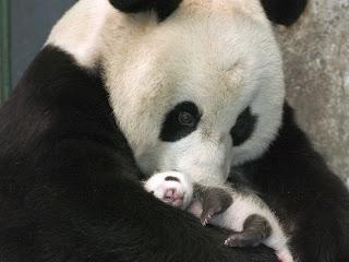 La Chachipedia El oso panda