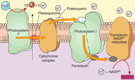 Ib biology photosynthesis and cellular respiration this diagram show electron transport chain ccuart Choice Image