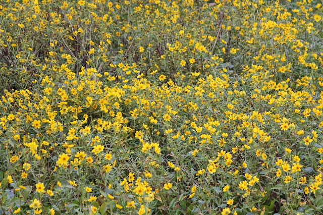 Swamp Sunflowers-Spilway Trail-Brazos Bend State Park-Needville, Texas