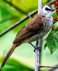 Foto Burung Cipoh Terbaik