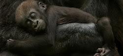 Sai quanta paura ha un gorilla?